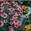 3-Pack Magnus Purple Coneflower (L5555)