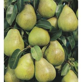 3.25-Gallon Comice Pear Tree (L10495)