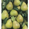 3.25-Gallon Comice Pear (L10495)