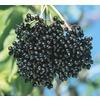 3.63-Gallon White Elderberry Accent Shrub (L11330)