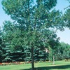  10.25-Gallon Patmore Ash Tree (L3494)