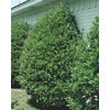 3.63-Gallon Carolina Cherry Laurel (L11188)