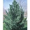 2.5-Quart Vanderwulfs Pyramid Limber Pine (L6874)
