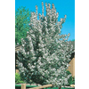 3.25-Gallon Sugar Tyme Crabapple (L5195)