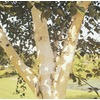 3.63-Gallon White-Barked Himalayan Birch (Lw00701)