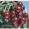 6-Gallon Stella Semi-Dwarf Cherry Tree (LFT009)