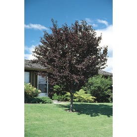3.25-Gallon Thundercloud Flowering Plum (L3215)