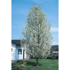 10.25-Gallon Capital Flowering Pear Tree (L1074)