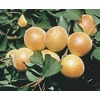  3.25-Gallon Chinese Semi-Dwarf Apricot (L4539)