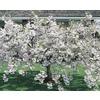 12.68-Gallon Snow Goose Flowering Cherry (L6720)