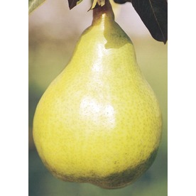 12.68-Gallon Bartlett Pear Tree (L1386)