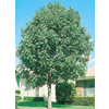 5.5-Gallon Green Ash (L3185)