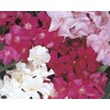 2-Gallon Mixed Oleander Flowering Shrub (L0056)