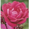 6-Gallon Double Knock Out Rose (LW02389)