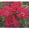 6.08-Gallon Knock Out Rose (L10923)