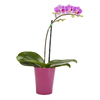 Exotic Angel Plants 11 oz Moth Orchid (L20963hp)