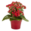 Exotic Angel Plants 1.25-Pint Kalanchoe (L20335)