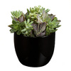 Exotic Angel Plants 1.25-Pint Succulent (L20922hp)