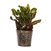 Exotic Angel Plants 4-in Croton (L20932hp)