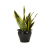 Exotic Angel Plants 4-in Snake Plant (L20614)