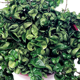 Exotic Angel Plants Hoya Rope in 1.45 Quart Hanging Basket