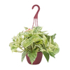 Exotic Angel Plants Pothos Marble Queen in 1.45 Quart Hanging Basket