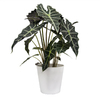Exotic Angel Plants Alocasia in 1.45 Quart Ceramic Tabletop Planter