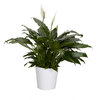 Exotic Angel Plants Spath in 1.45 Quart Ceramic Tabletop Planter