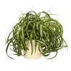 Exotic Angel Plants Spider Plant in 1.45 Quart Ceramic Tabletop Planter