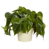 Exotic Angel Plants Philodendron in 1.45 Quart Ceramic Tabletop Planter