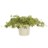 Exotic Angel Plants Ivy Yellow in 1.45 Quart Ceramic Tabletop Planter
