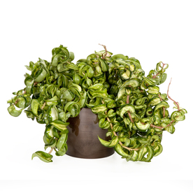 Exotic Angel Plants Hoya Rope in 1.45 Quart Metal Tabletop Planter