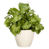 Exotic Angel Plants Nephthytis in 1.45 Quart Ceramic Tabletop Planter