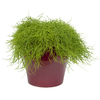 Exotic Angel Plants Rhipsalis Trailing in 3.0 Quart Ceramic Tabletop Planter