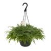 Exotic Angel Plants Fern Rabbit's Foot in 3.0 Quart Hanging Basket