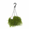 Exotic Angel Plants Rhipsalis Trailing in 3.0 Quart Hanging Basket