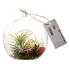 Exotic Angel Plants 4-in Tillandsia