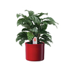 Exotic Angel Plants 6-in Calathea (L20924hp)