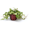 Exotic Angel Plants 6-in Hoya Rubra (L5761)