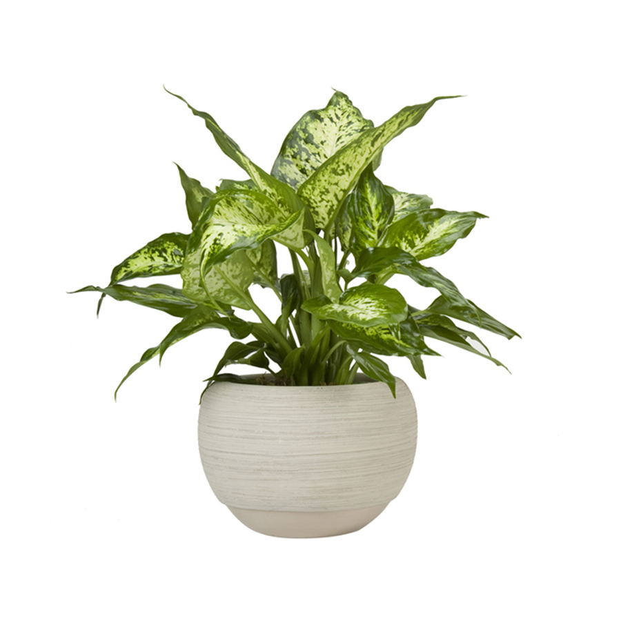 shop exotic angel plants 6 in dieffenbachia l20936hp at