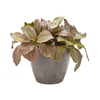Exotic Angel Plants 6-in Fittonia (L9405hp)