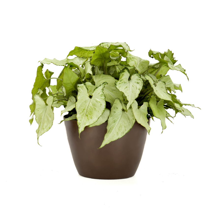 Shop exotic angel plants 6 in nephthytis l20981hp at for How to take care of exotic angel plants
