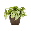 Exotic Angel Plants 6-in Nephthytis (L20981hp)
