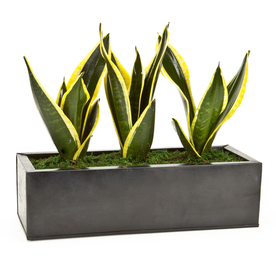 Exotic Angel Plants Sansevieria in 6.88 Quart Metal Tabletop Planter