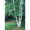  2.5-Quart Paper Birch (L7304)