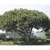  1.58 Pint Italian Stone Pine (L5854)