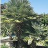 27.5 Gallon(S) European Fan Palm (L9064)