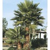 3.61-Gallon Mexican Fan Palm (L3048)