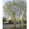 28.5-Gallon Willow Acacia (L7642)