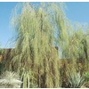 28.5-Gallon Shoestring Acacia (L9438)